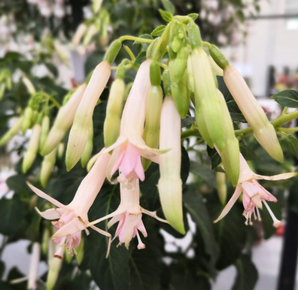 Fuchsia 'Jaspers Lightening'